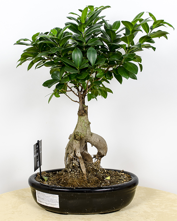 scurta istorie despre bonsai magnolia blog
