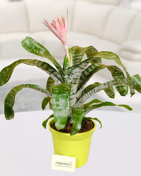 Planta Aechmea în ghiveci decorativ