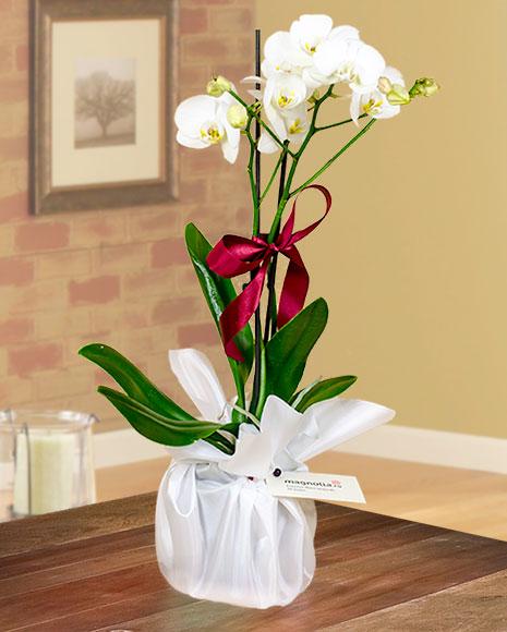 Aranjament orhidee Phalaenopsis albă cu ambalaj elegant