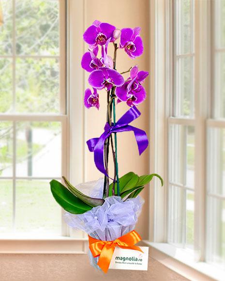 Aranjament Phalaenopsis mov cu două tije florale bogate