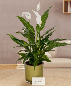 Spathyphyllum plant with decorative pot