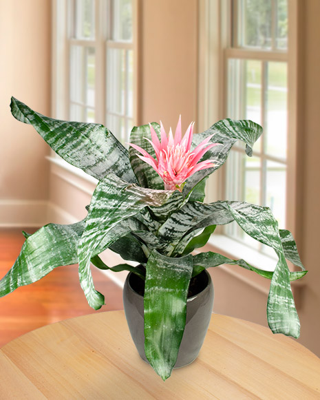 Aechmea plant in a decorative pot