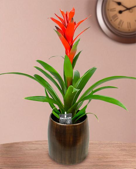Guzmania, an indoor plant