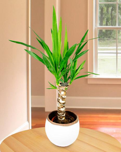 Yucca plant in a decorative pot