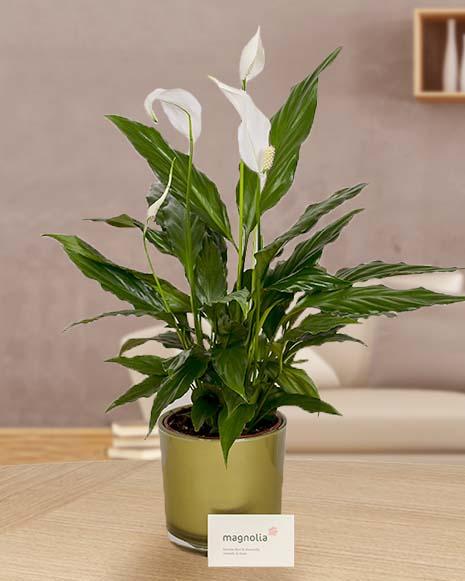 Spathyphyllum plant with decorative pot