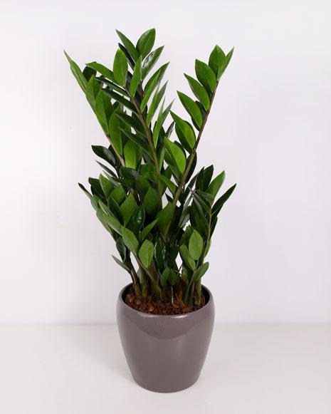 Planta Zamioculcas