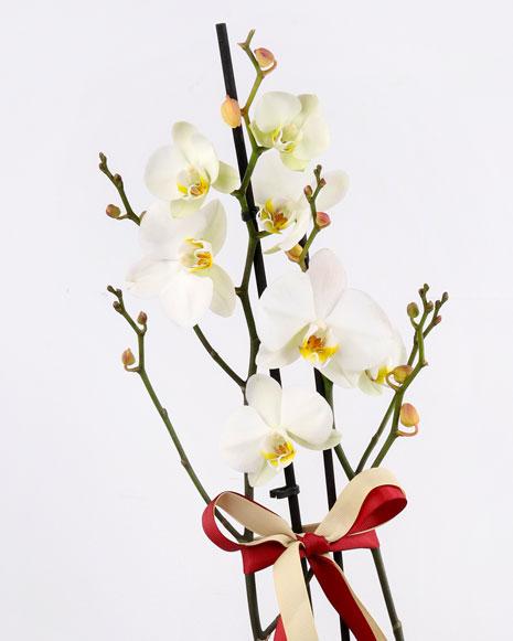 Orhidee Phalaenopsis albă