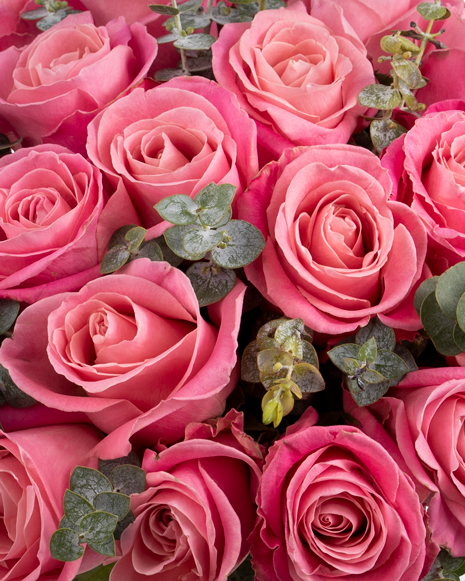 Pink roses and baby eucalyptus