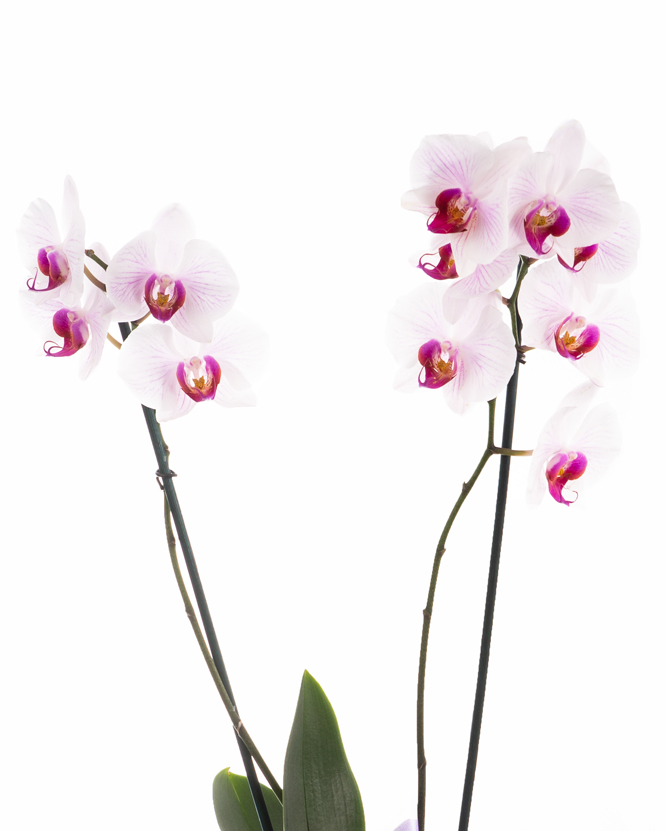 Aranjament orhidee Phalaenopsis roz