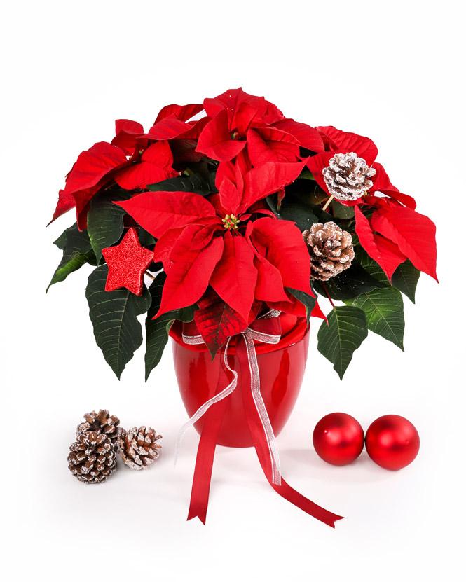 Christmas Star arrangement