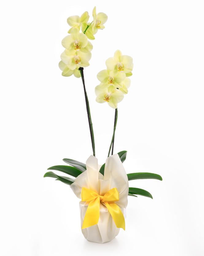 Orhidee Phalaenopsis galbena