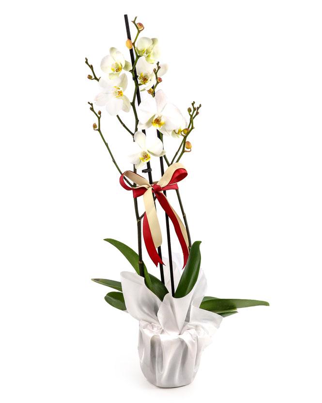 White Phalaenopsis orchid arrangement & wrapper