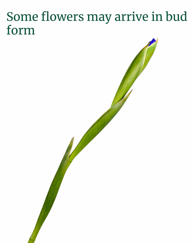 Irises, tulips and freesias bouquet