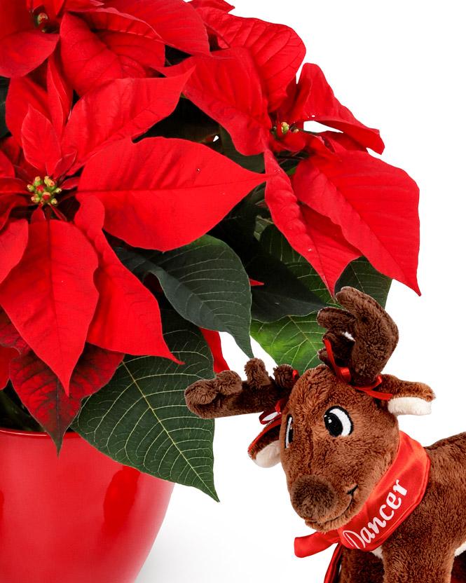 Crăciuniță cu ren