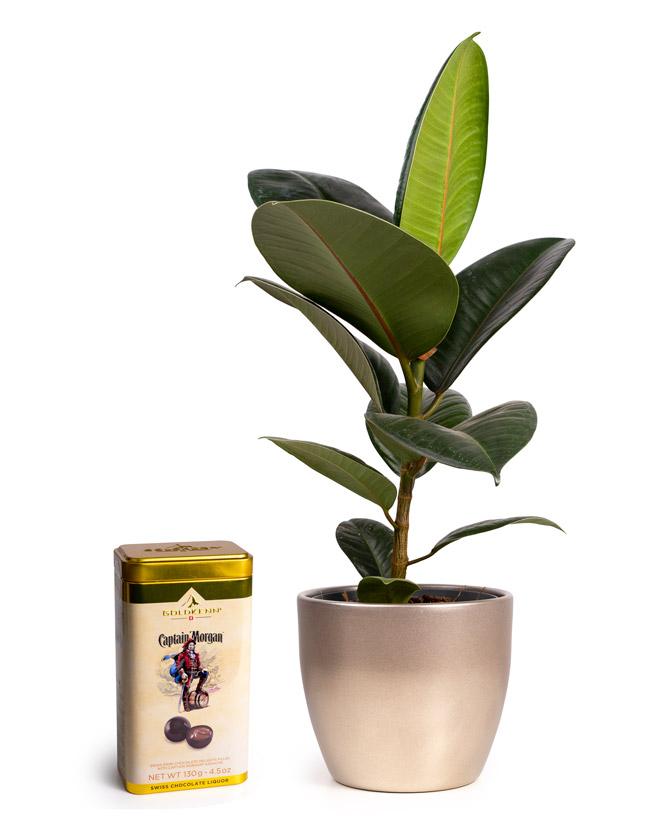 Ficus Elastica și bomboane cu rom Captain Morgan