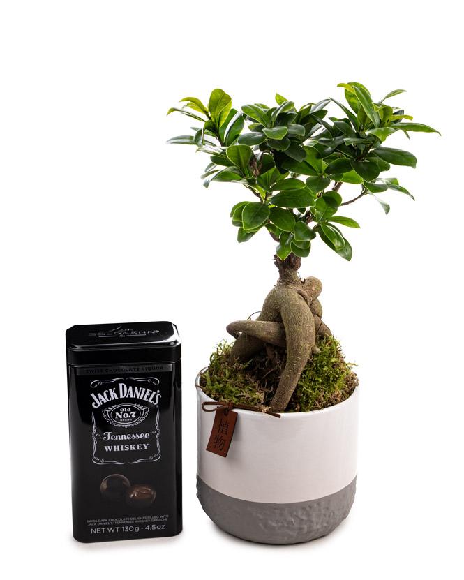 Ficus Ginseng și bomboane cu whiskey Jack Daniel's