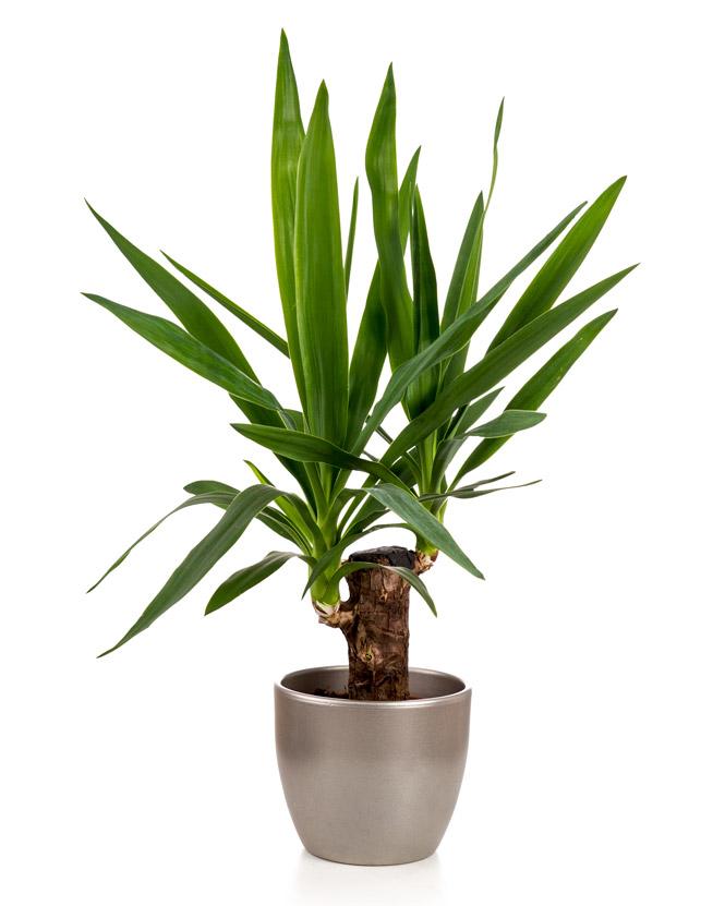 Planta yucca cu 1 tulpină în ghiveci decorativ