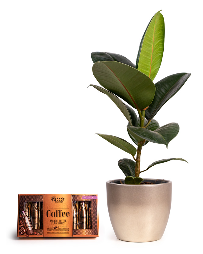 Ficus Elastica and Asbach brandy and coffee chocolate