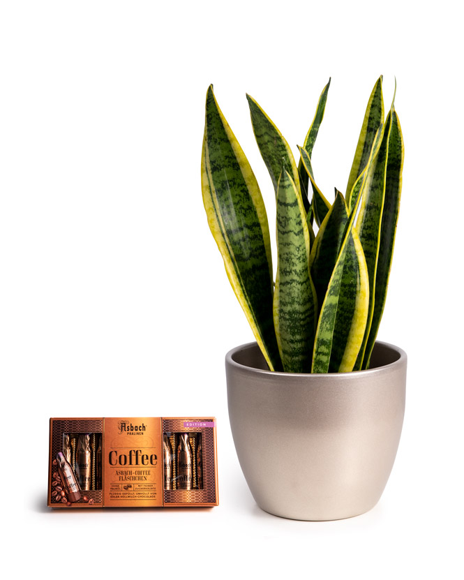 Sansevieria and Asbach brandy and coffee chocolate
