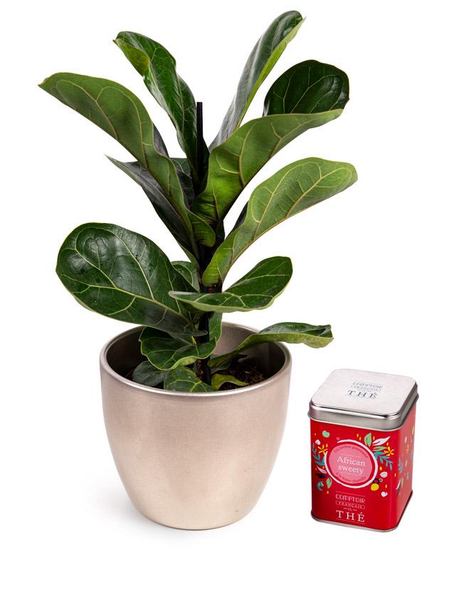 Ficus Lyrata and Strawberry Rooibos Tea