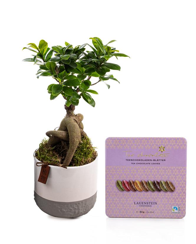 Ficus Ginseng și ciocolată cu aromă de ceai