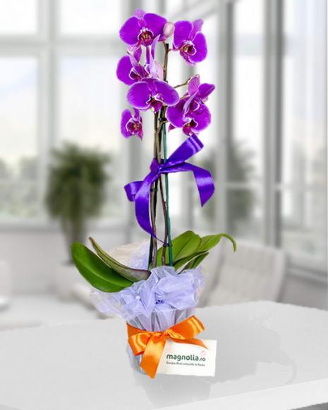 Aranjament Phalaenopsis mov cu două tije florale bogate poza 2