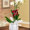 5 trucuri pentru a stimula orhideea Phalaenopsis sa infloreasca