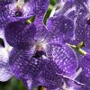 Floarea potrivita pentru femeile din zodia Varsator