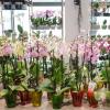 Cum si cand se schimba ghiveciul la orhideea Phalaenopsis