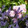 Florile ideale pentru femeia din zodia Gemeni