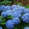 Ce semnifica hortensia in functie de culoare