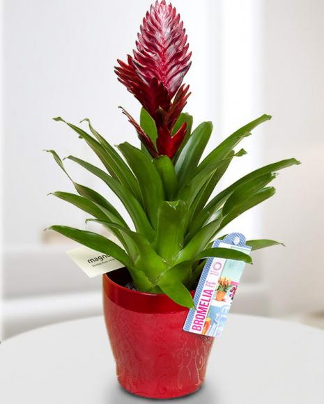 Planta Vriesea cu ghiveci decorativ