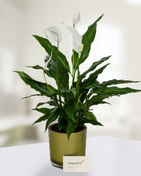 Planta Spathyphyllum cu ghiveci decorativ