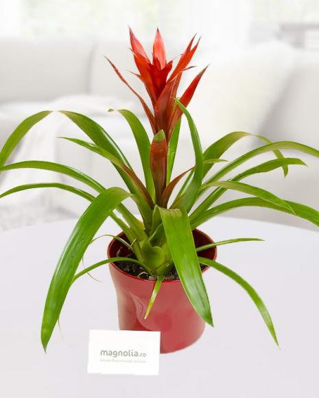Plante de interior Guzmania