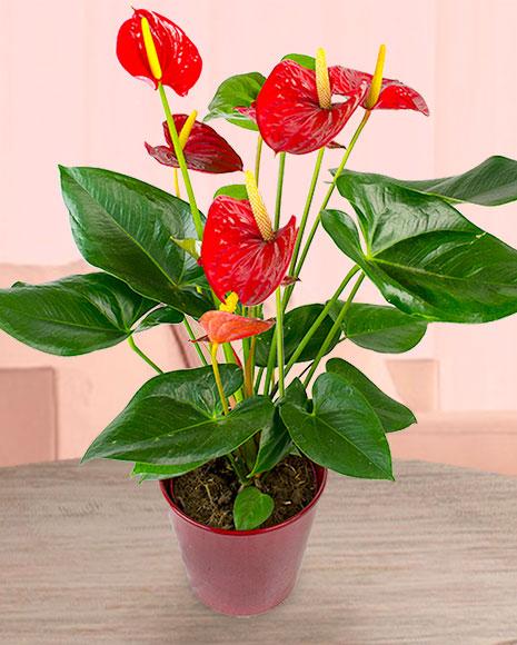 Planta anthurium roşu în ghiveci decorativ