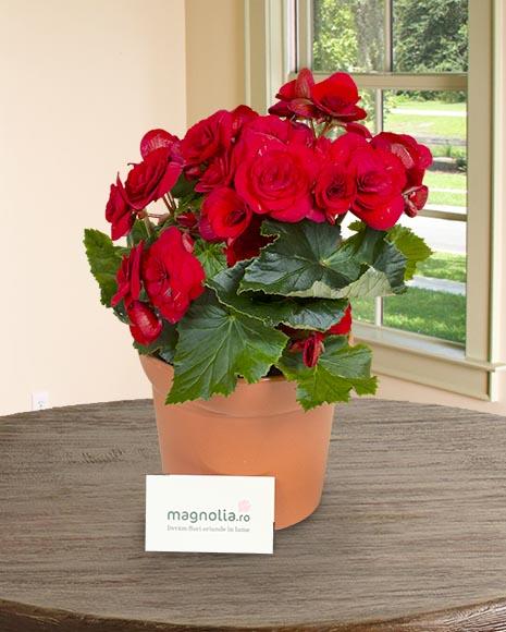 Begonia roşie în ghiveci decorativ