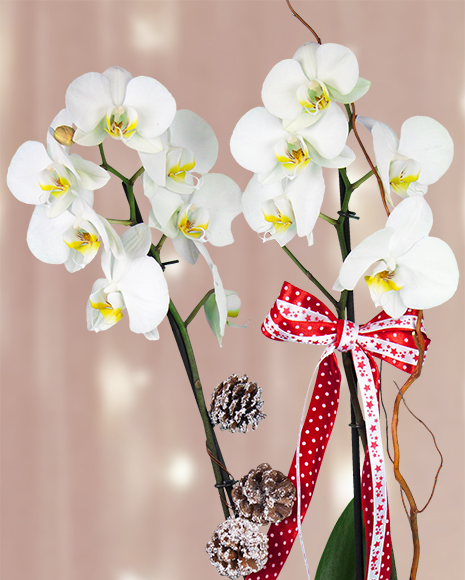 Orhidee Phalaenopsis cu accesorii de iarna