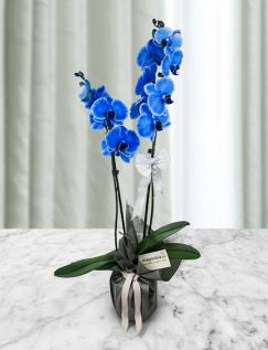 Orhidee Phalaenopsis albastra