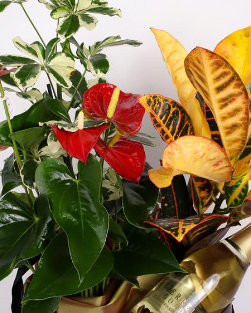 Cutie cu plante si sampanie Gold