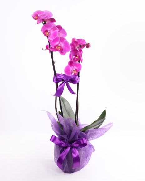Aranjament orhidee Phalaenopsis mov