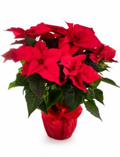 Crăciuniță cu ambalaj roșu